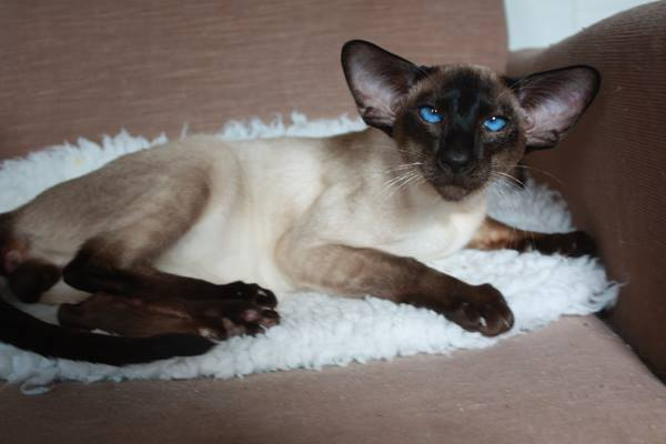 Siamese Cat All About Character Price Breeding And Why It Is Different From The Thai Cat My Love