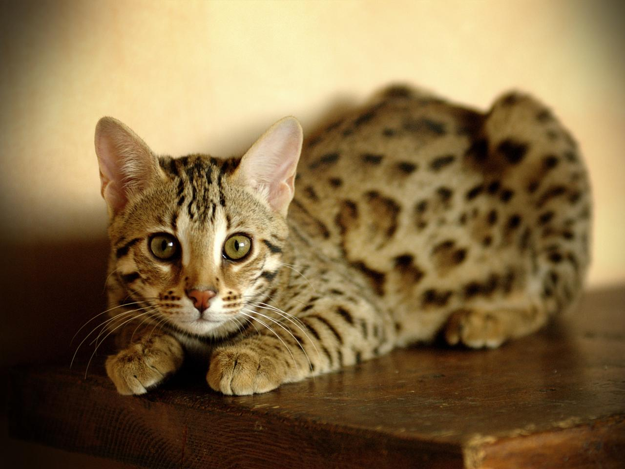 Bengal cat: price, personality and characteristics - Cat my love
