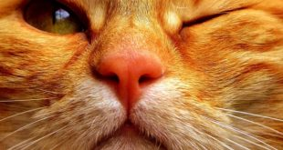 Cat herpesvirus symptoms, remedies and cure