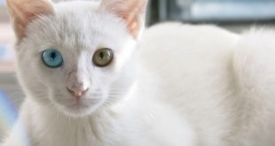 Are white cats deaf And is the albino cat
