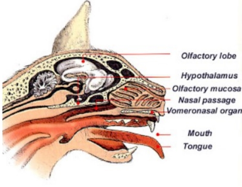 Cat's vomeronasal organ