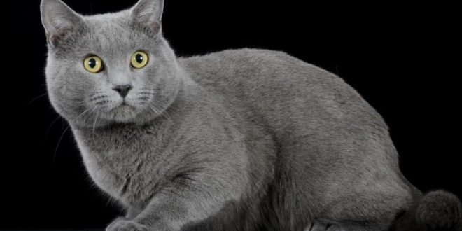 Chartreux cat, character, prices and features