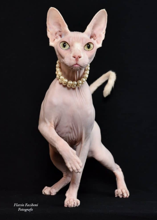 Cat Don Sphynx Or Donskoy Price And Farms Cat My Love