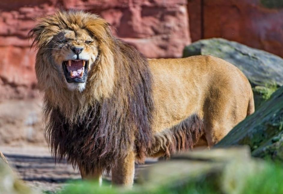 Flehmen in the lion