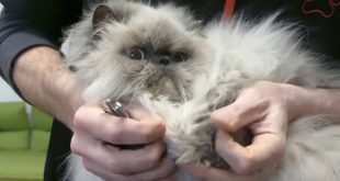 How to cut the cat's nails, when and why