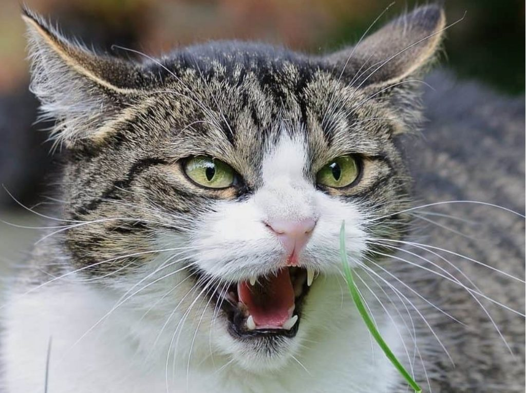 If the cat is angry it blows the dog