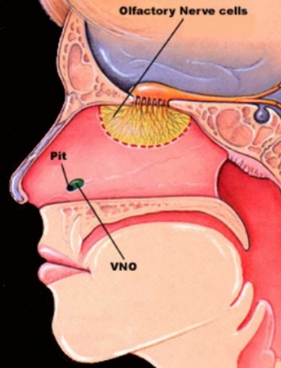 Jacobson organ in humans