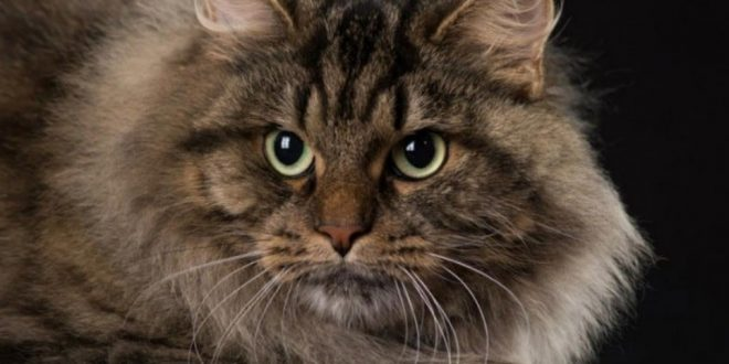 Siberian cat Character, characteristics and price