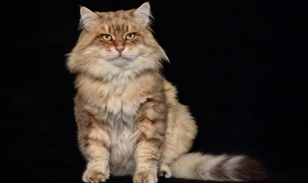 Siberian hypoallergenic cat - photo by Flavio Facibeni
