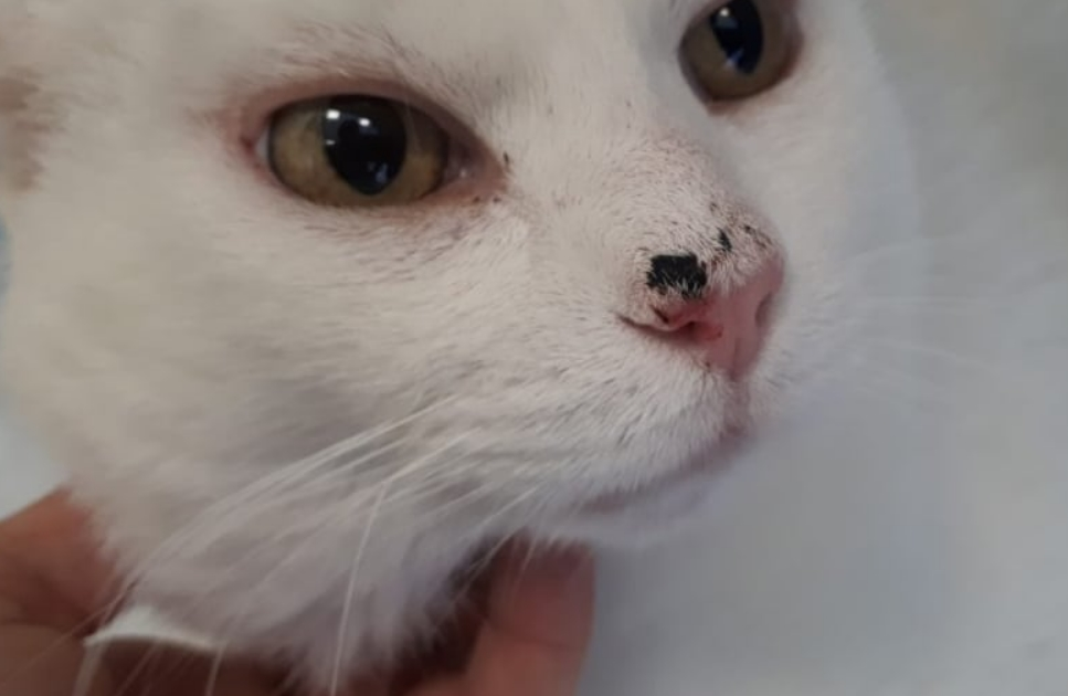 Cat Squamous Cell Carcinoma Prevention Symptoms Treatment Cat My Love