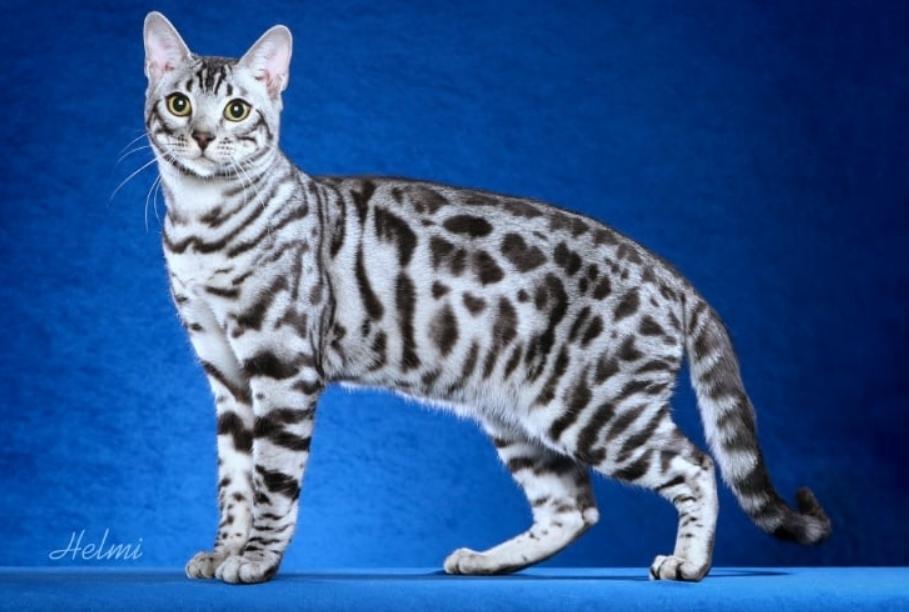 White Bengal cat