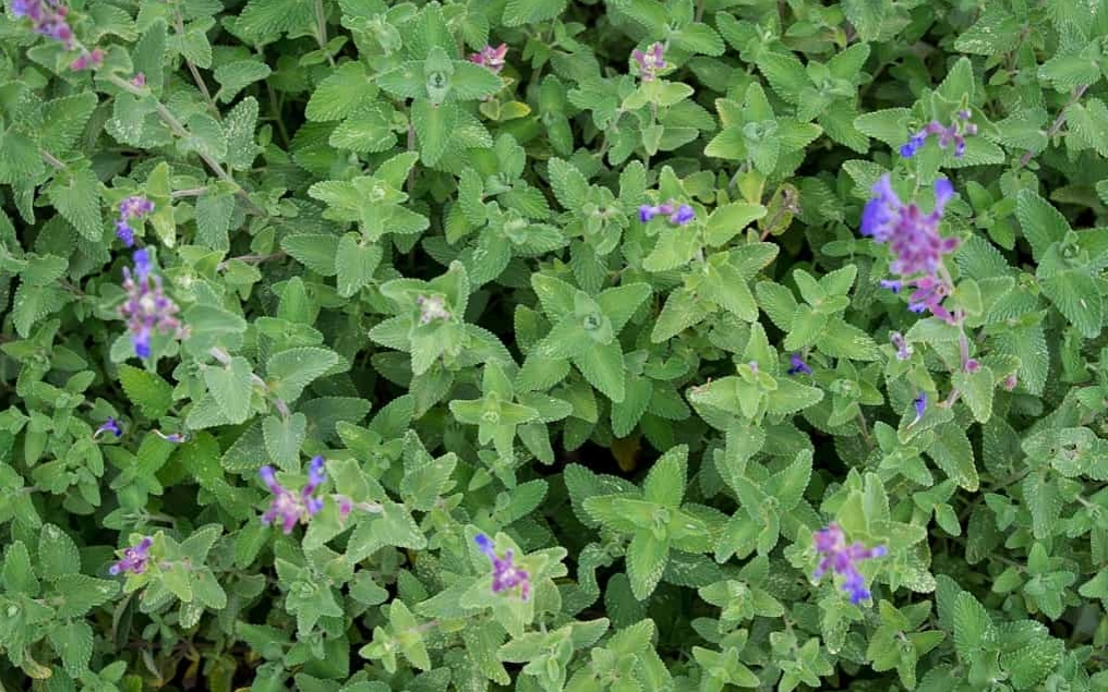 catnip or nepeta cataria